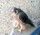 060615_peregrine_falcon_chick1